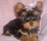 Female Yorkie Puppy Ready