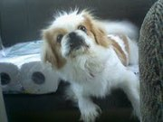 Lola Cutest Pekingese needs home